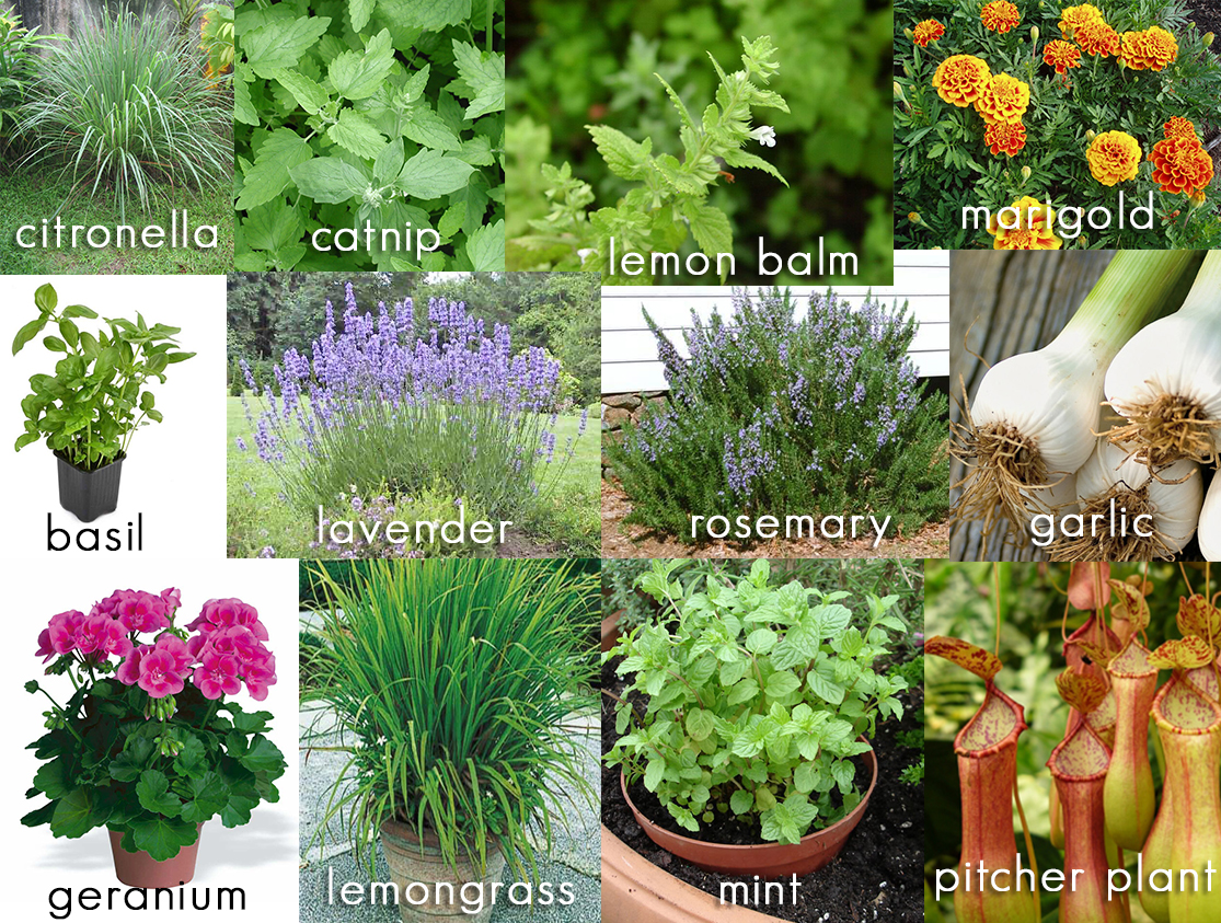 12 Plants that Repel Mosquitos From Your Backyard Living Space